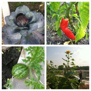 A sampling of what was grown on the roof!